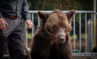 L'ours Micha lors de son dernier spectacle, dans le Pas-de-Calais.
