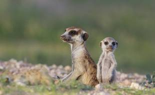 Les suricates vivent dans le sud-ouest de l'Afrique