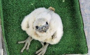 Un bébé faucon pèlerin. Illustration.