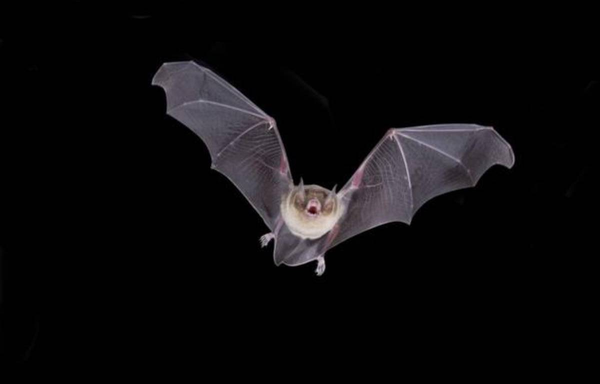 Une chauve-souris. – Barry Mansell/SUPERSTOCK/SIPA