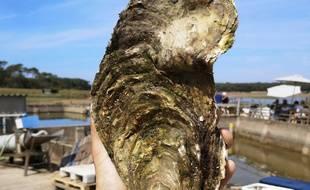 Georgette, l'huître géante de 1,4 kg découverte à la Guittière.