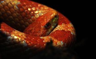 Un serpent des blés (illustration).