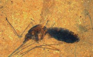 Un moustique fossilisé découvert dans le Montana aux Etats-Unis par les chercheurs du Smithsonian Institution.