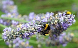 Une abeille butinant de la lavande