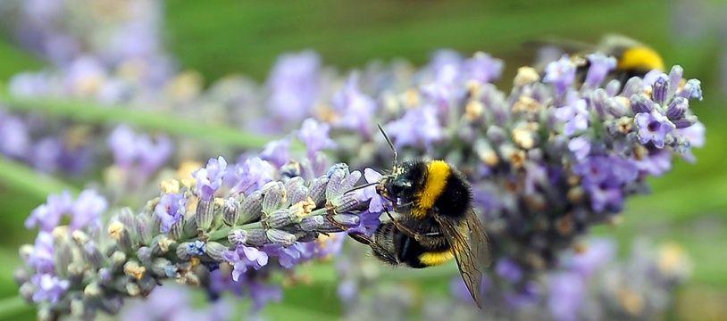 Une abeille butinant de la lavande.
