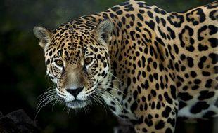 Un jaguar (illustration).