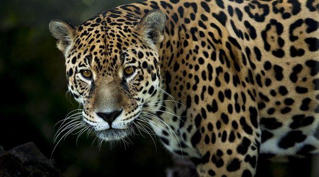 Le jaguar gravement brûlé dans l'incendie du Pantanal a retrouvé la liberté