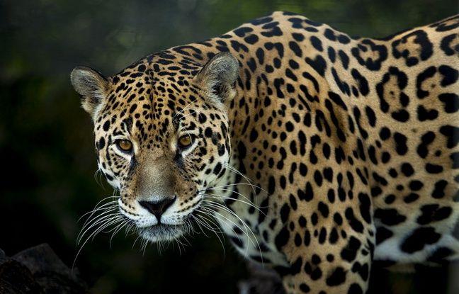 Etats-Unis : Le mur anti-immigration de Donald Trump constitue une menace pour les jaguars, selon des associations