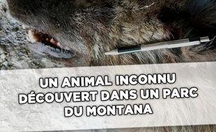 Capture d'écran de l'animal inconnu découvert dans le Montana, aux États-Unis.
