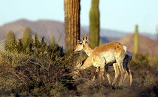 L'antilope de Sonora fait partie des espèces qui verraient leurs populations scindées par le mur.