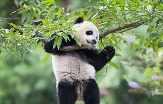 Le panda Bao Bao, le 23 août 2014 dans le zoo de Washington.