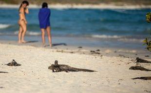 Des iguanes sur une plage des Galapagos, le 20 janvier 2018.