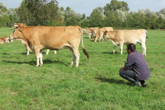 Des vaches de race vache nantaise à Bouguenais.