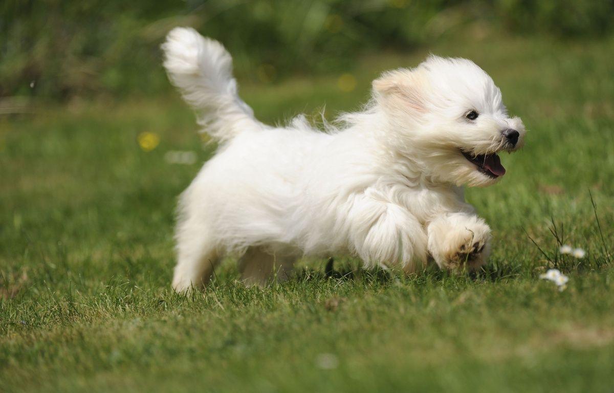 Un coton de Tuléar, race de chiens proche du bichon maltais. – Ardea / M. Evans / Sipa