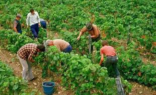 Vendanges à la main dans le sud de la Sarthe, en 2009.