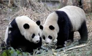 Tuan Tuan et Yuan Yuan, un couple de pandas de quatre ans, ont quitté mardi à l'aube leur réserve de Ya'an (bien Ya'an), dans le Sichuan (sud-ouest de la Chine), pour être conduits au zoo de Taipei et entamer leur nouvelle vie d'ambassadeurs de bonne volonté.