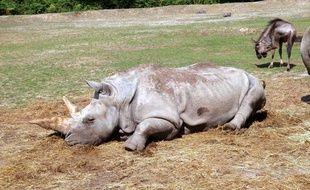 Un rhinocéros du parc de Thoiry, dans les Yvelines.