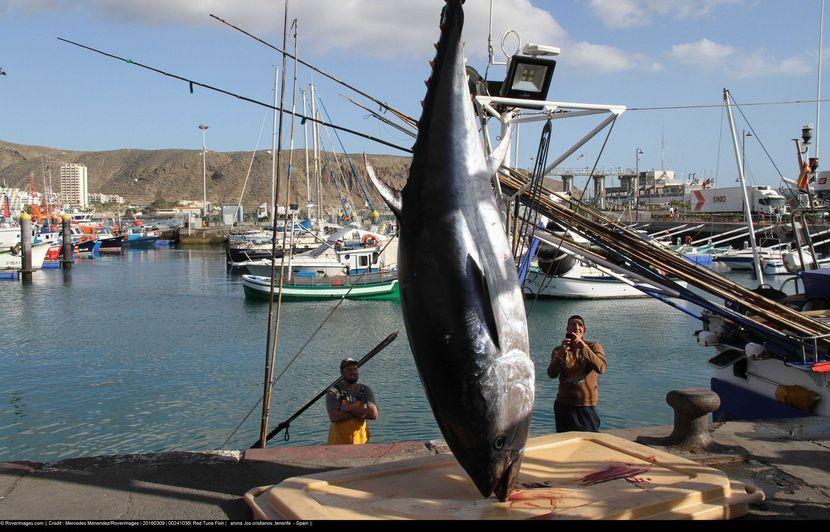 Le WWF « s'oppose formellement » à la première certification durable d'une pêcherie de thon rouge