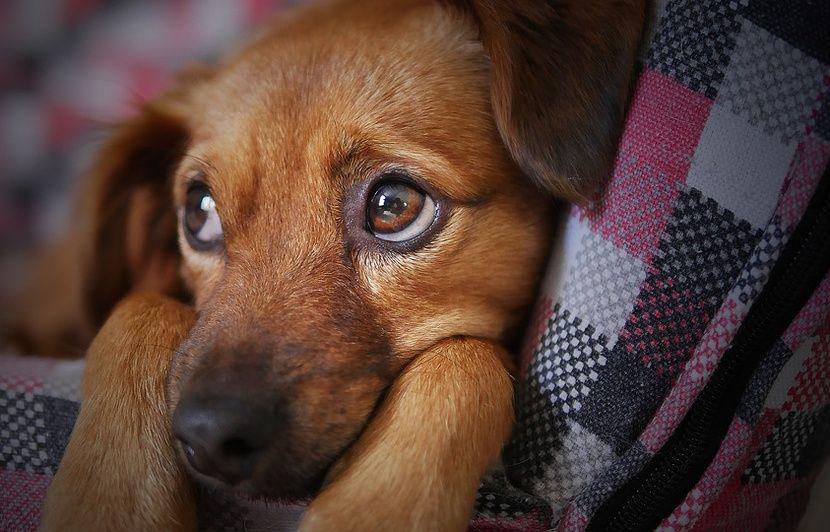 Des chercheurs pensent savoir comment votre chien vous attendrit avec son regard