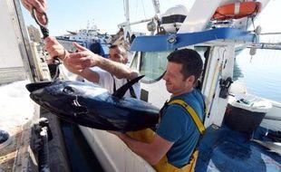 Un thon rouge tout juste pêché est ramené dans le port de Sète (Hérault), le 17 mai 2014
