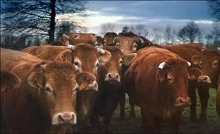 Un troupeau de vaches et de taureaux de race limousine. / Photo illustration.
