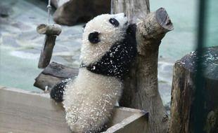 Le petit panda Yuan Bao.