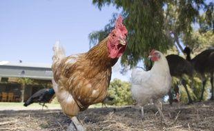 Illustration d'un coq dans une ferme