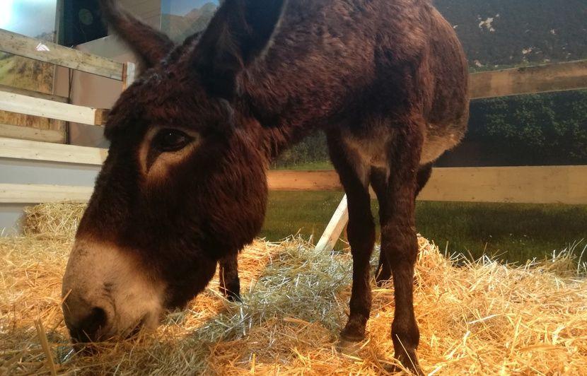 Occitanie : Cheval de Mérens, porc noir de Bigorre, âne des Pyrénées… Ces races locales sauvées in extremis