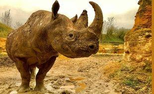 Kata-Kata, rhinocéros du zoo de Doué-la-Fontaine.