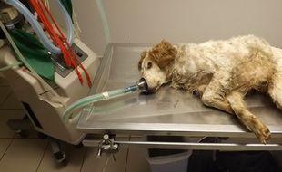 Le chien chez le vétérinaire, peu de temps après son sauvetage.
