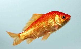 Illustration de poisson rouge.