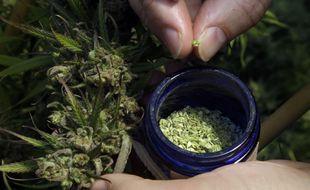 Du pollen de cannabis.