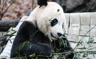 Le panda géant Bei Bei, dans son enclos au zoo de Washington (Etats-Unis).