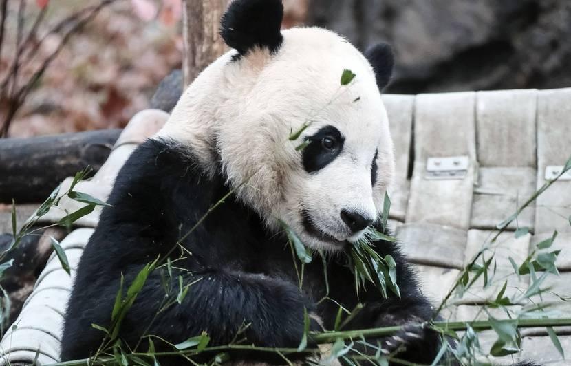 VIDEO. Etats-Unis : Le panda Bei Bei s'envole pour la Chine après quatre ans au zoo de Washington