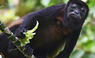 Un singe hurleur roux, sur l'île de Barro Colorado, installée sur le canal de Panama, et devenue un véritable laboratoire de biologie tropicale, le 23 novembre 2015