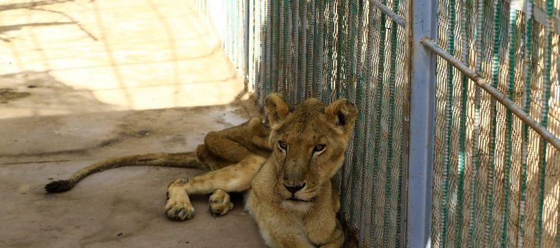 Une lionne malnutrie du zoo de Khartoum, le 19 janvier 2020.
