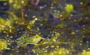 Illustration d'une grenouille.