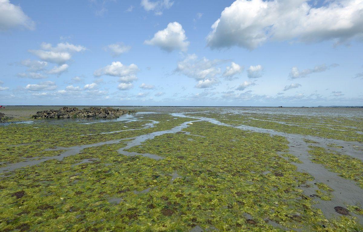 La baie d'Hillion, ici en août 2014, a souvent été le théâtre d'échouages d'algues vertes. – Miguel Medina / AFP