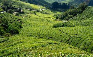 Les vertigineuses plantations de thé qui mènent au Boh Tea Plantation offrent un paysage à couper le souffle.