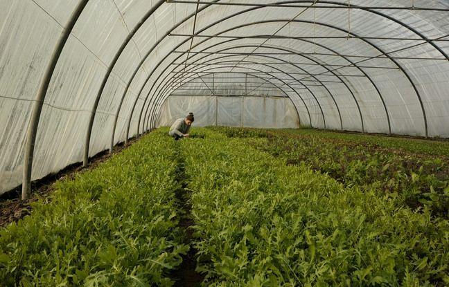 Marie Proix en train de récolter de la mâche, dans sa ferme, à Gonesse.