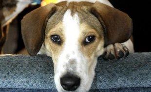 Un beagle.