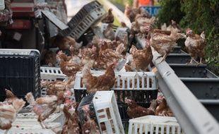 Des milliers de poules en liberté sur une autoroute en Autriche