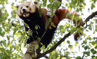 Le Jardin zoologique de la ville de Lyon a réuni cette semaine deux jeunes pandas roux, espèce en voie de disparition, pour tenter de les voir se reproduire, a-t-on appris mercredi auprès de la ville.