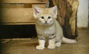 L'un des chats des sables nés en captivité au zoo de la Tête d'Or à Lyon.