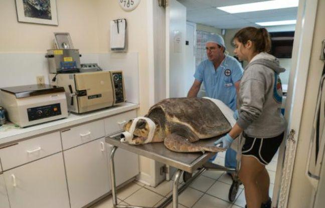 """Une tortune marine est emmenée au bloc opératoire du """"Turtle hospital"""" à Marathon, en Floride, le 14 janvier 2016"""