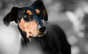 Un pinscher. Illustration.