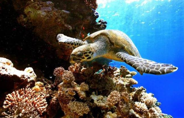 Une tortue nage dans la zone marine protégée de Ras Mohammed riche d'une énorme biodiversité au large de Charm el-Cheikh en Egypte