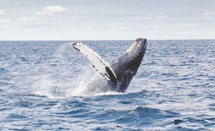 Baleine à bosse (illustration)