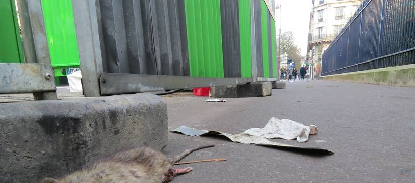 La mairie a déclaré la guerre aux rats.