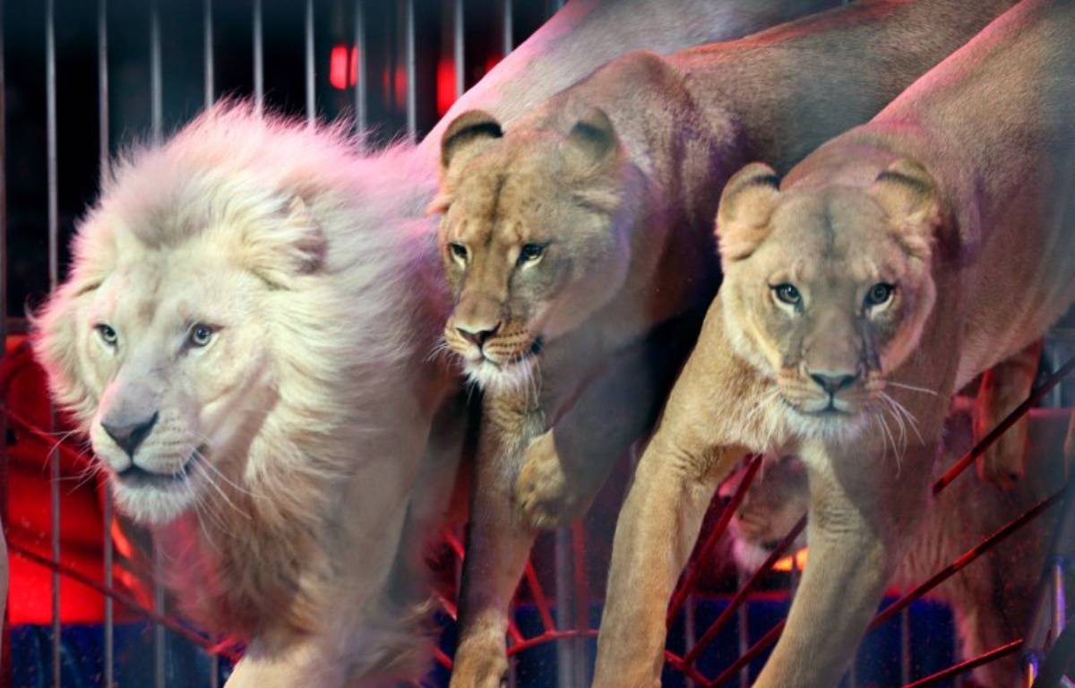 Des lions exécutant un numéro de cirque, illustration – VALERY HACHE / AFP